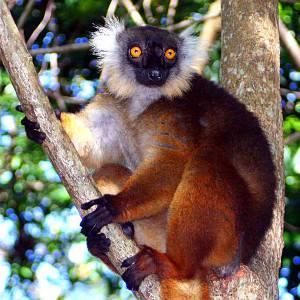 Lemure Macaco di Nosy Komba